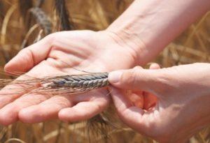 Emmer gehört zu den Spelzgetreiden: Die Spelzen schützen das Urgetreide vor äußeren Umwelteinflüssen.