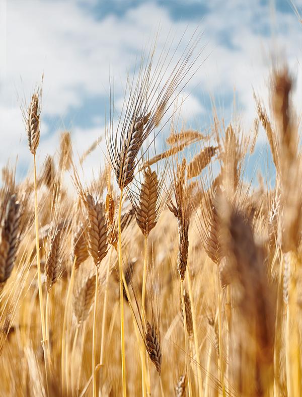 Züchtung von Saatgut – Emmer noch besser machen