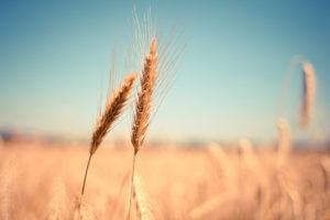 Weizenfeld mit zwei Ähren im Vordergrund: Gründe für eine weizenfreie Ernährung gibt es verschiedene.